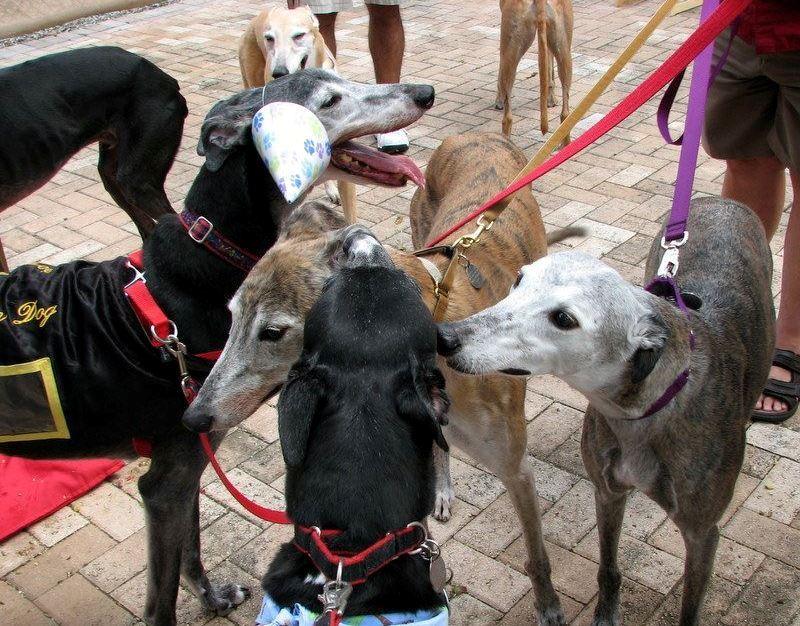 GREAT greyhound