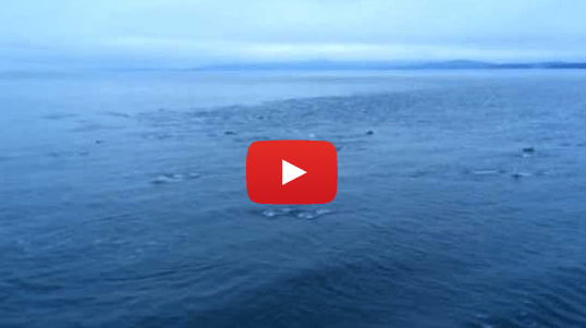 Amazing 'Superpod' of Over 1000 Dolphins in Strait of Georgia (VIDEO)