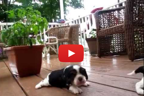 A Whole Lot of Puppies Learning to Walk (VIDEO)