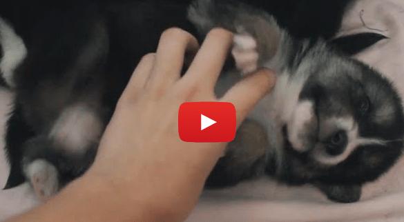 Puppies Enjoying Belly Rubs (VIDEO)