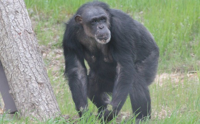 From Unknown to Queen – the Journey of a Special Chimpanzee
