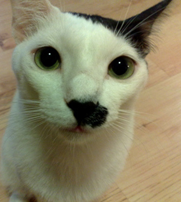 15 Classy Cats Taking the Mustache Trend to a new Level