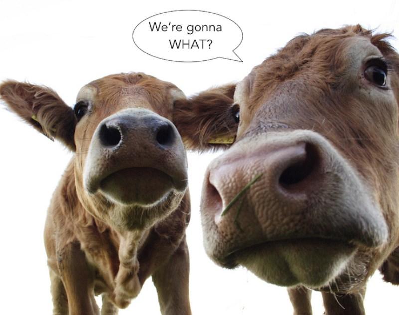 dairy cows pascalk copy