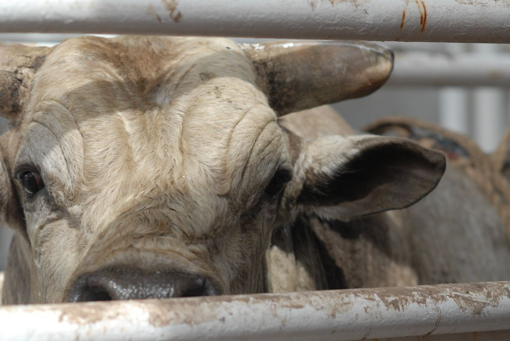 Is There More Cruelty in a Glass of Milk or Pound of Beef?