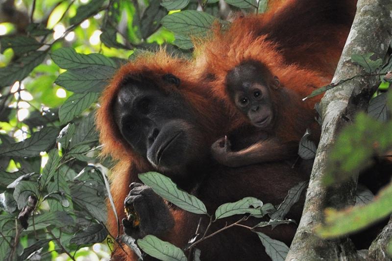 The Life of an Orphaned Orangutan