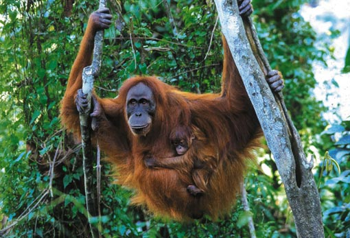 The Life of an Orangutan