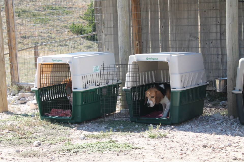 Rescued Beagles