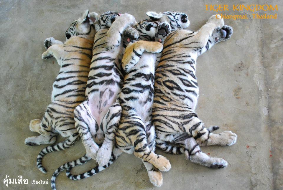 EXPOSED: Tiger Kingdom