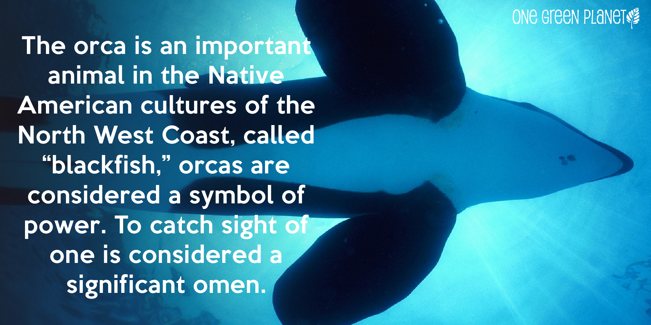 Orcas Are More Emotionally Complex Than Humans and Other Facts About These Awesome Mammals