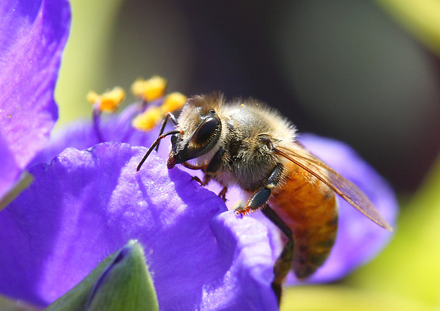 Are Cities the Secret to Saving Bees?