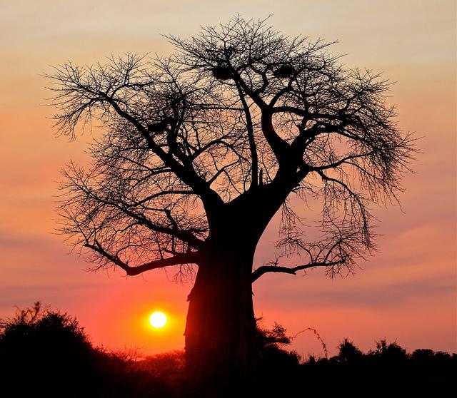 Health Benefits of Baobab Fruit