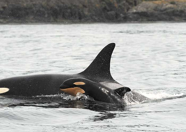 How Captivity Destorys Orcas Natural Life Cycles