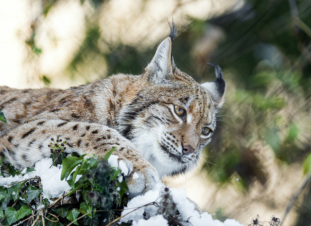 California's Bobcats Are Being Killed to Fuel the International Fur Trade. Here's What You Can Do