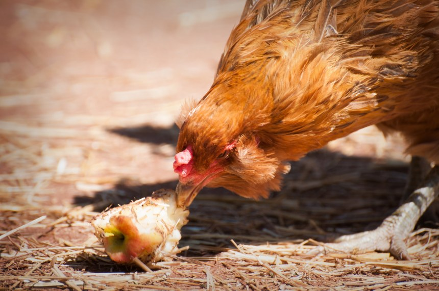 10 Stunning Chickens Who Prove They Are Far Too Dynamic to be Considered 'Nuggets'