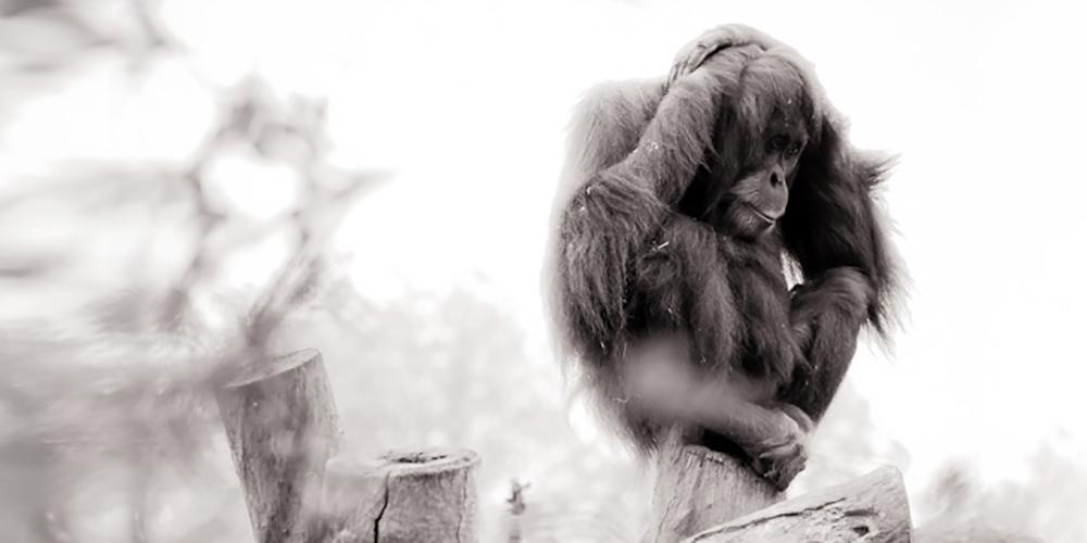 orangutan-JM