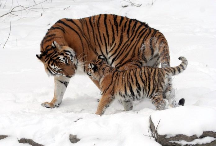 Panthera_tigris_altaica_13_-_Buffalo_Zoo
