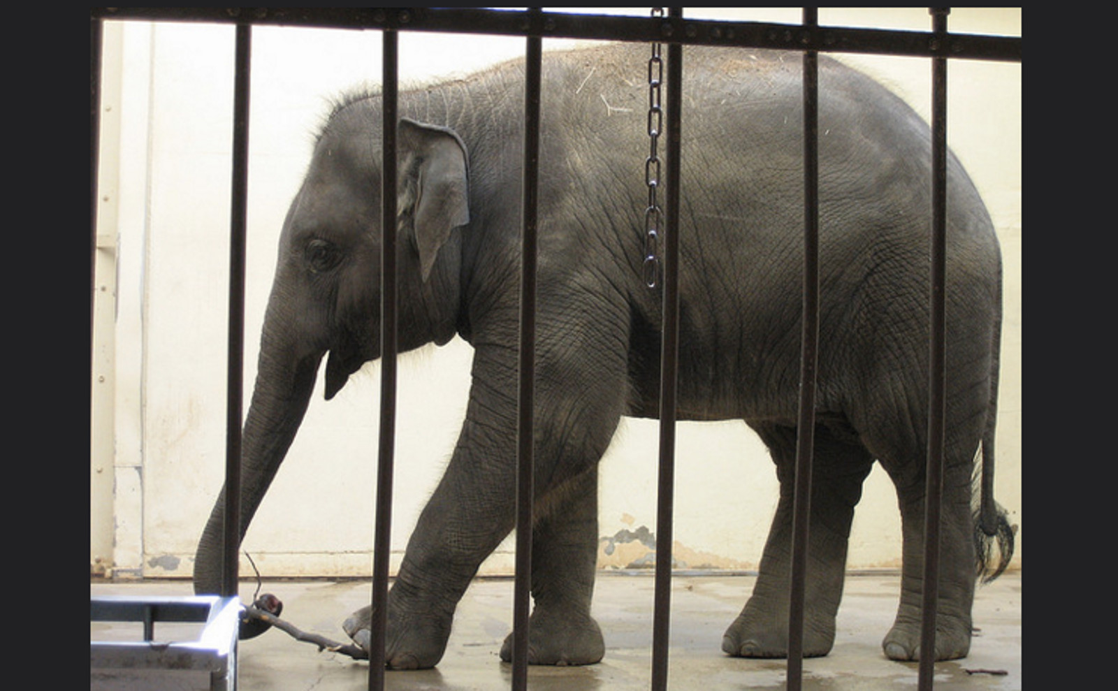 Elephants Will Never Belong In Zoos