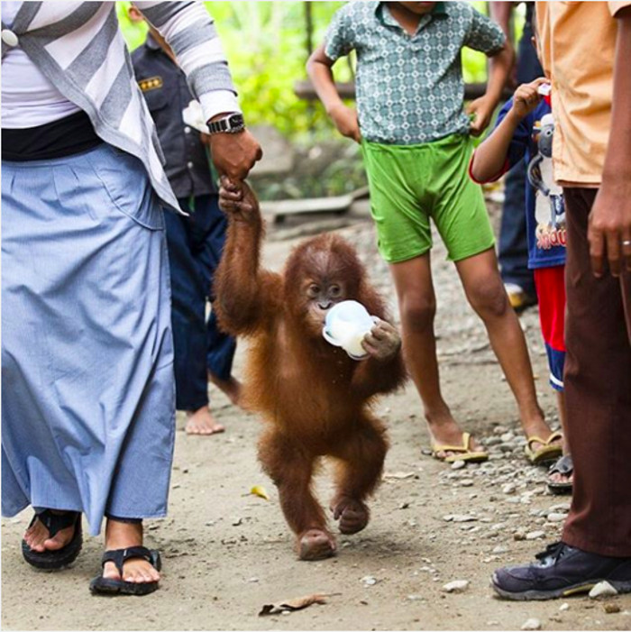 If We Destroy Orangutans' Habitat, Here is the Life They Will Have to Adapt to