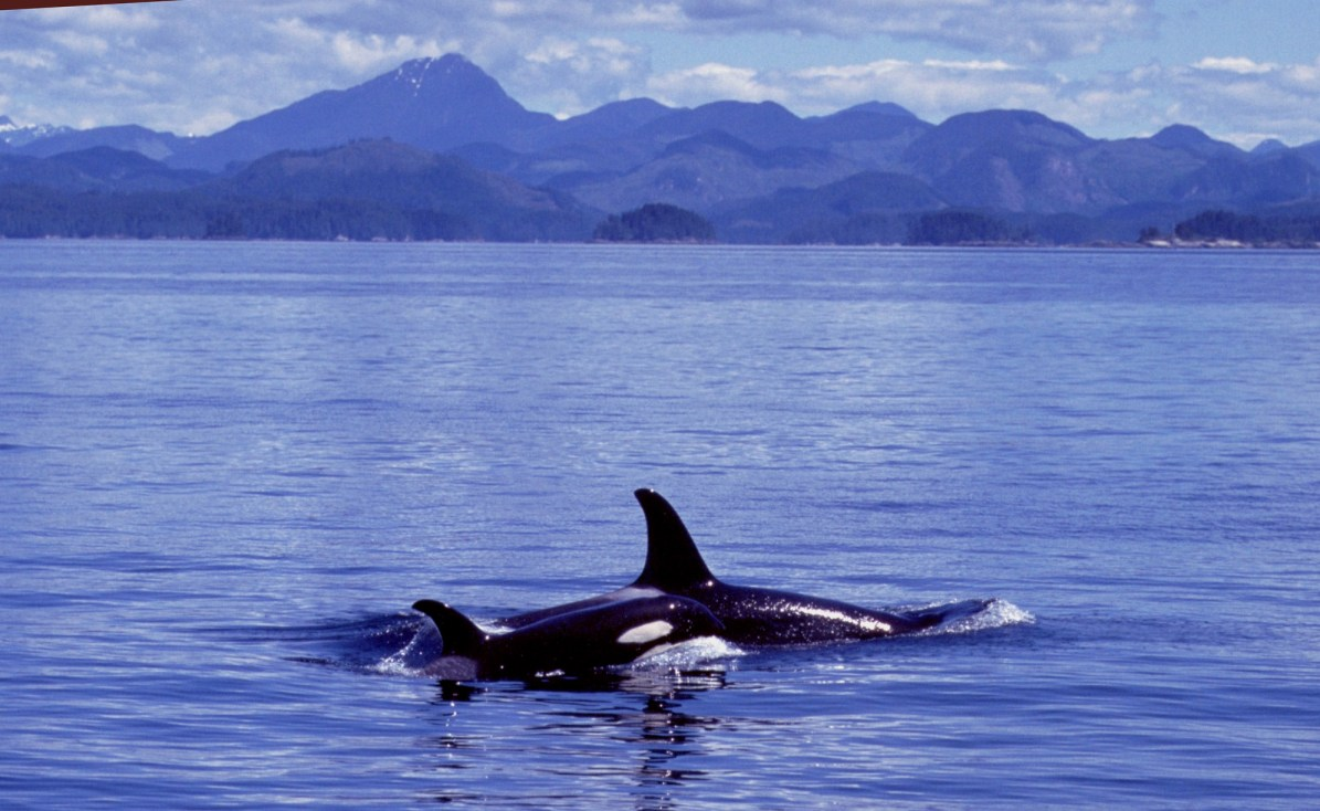 Ocean Pollution and Orcas