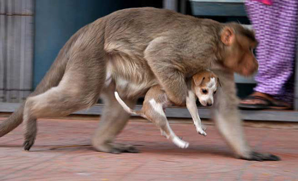 Monkey Who Adopted a Street Puppy in India Proves That Love Knows No Species