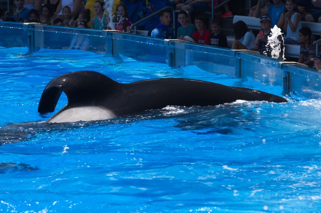 20150706-USA-INV-D1-001-TILIKUM (c) 2015 Orca Research Trust (1)