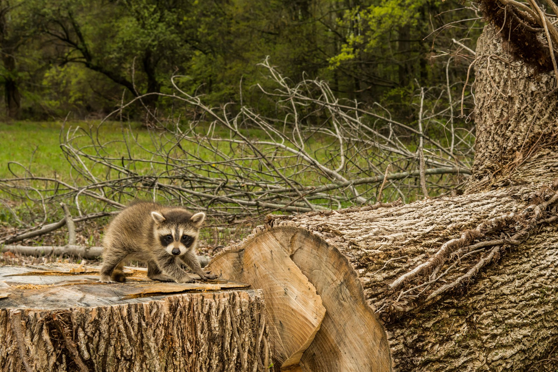 Baby Raccoon Stands on the Destruction of His Home