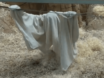 Why This Orangutan 'Pretending to be a Ghost' is Anything but Funny (VIDEO)