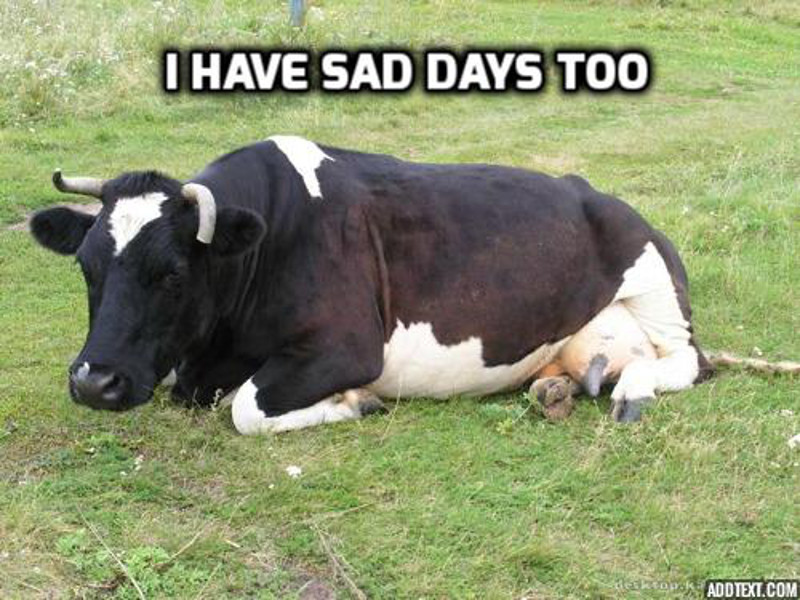 funny pictures of cows