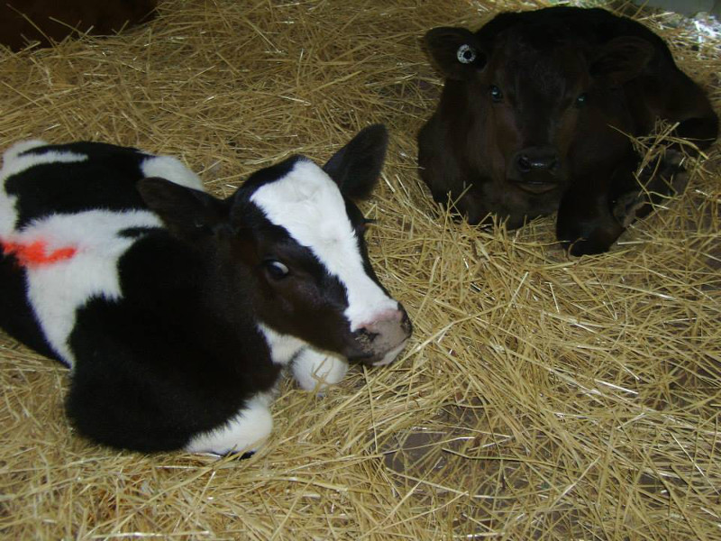 6 Rescued Dairy Calves Go From Skinny and Scared to Bold ...