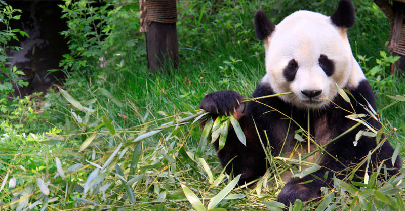 captive breeding in panda bears essay Breeding pandas is prolonging the existence of a hopeless and wasteful  and  the conservation movement directly affects all of us it affects the air  sure, bears  are typically omnivores or carnivores, and the panda is a 99.