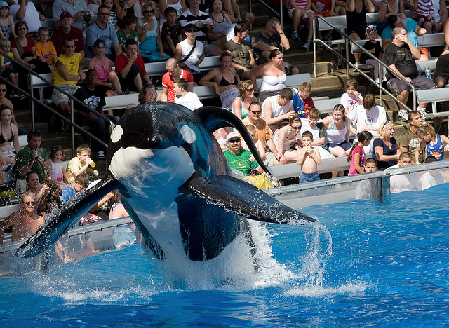 Incidents At Seaworld Parks: A Look Into How Life For Captive Orcas Differs From Their