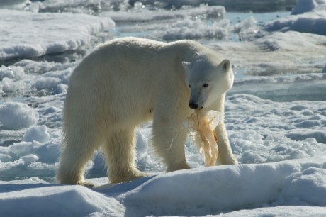 Plastic Bags Have Reached Polar Bears – This is Why Bringing a Cloth Bag to the Store is More Than Just a Fad
