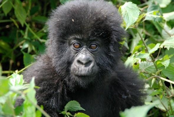 gorillas-in-the-mist-3-1360688
