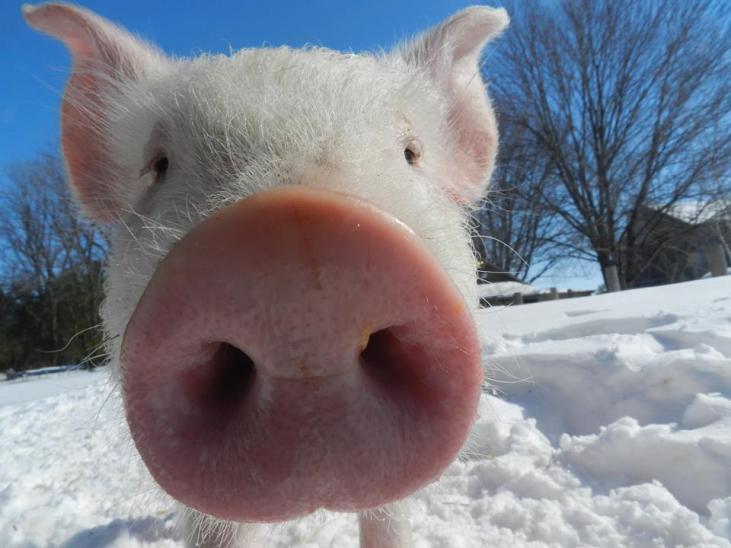 Cromwell the pig at Cedar Row Farm Sanctuary