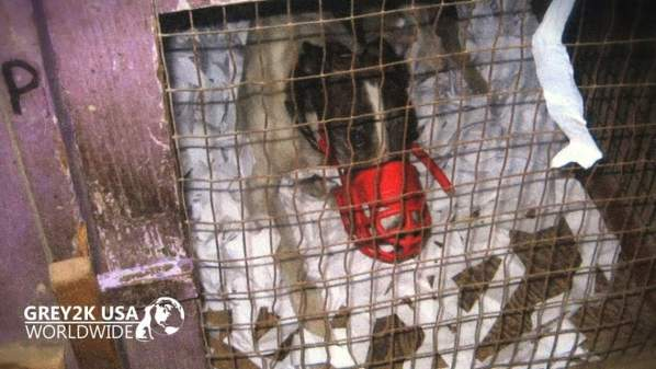 Greyhounds Testing Positive for Cocaine Shows Us Why the Animal Racing Industry Needs to End