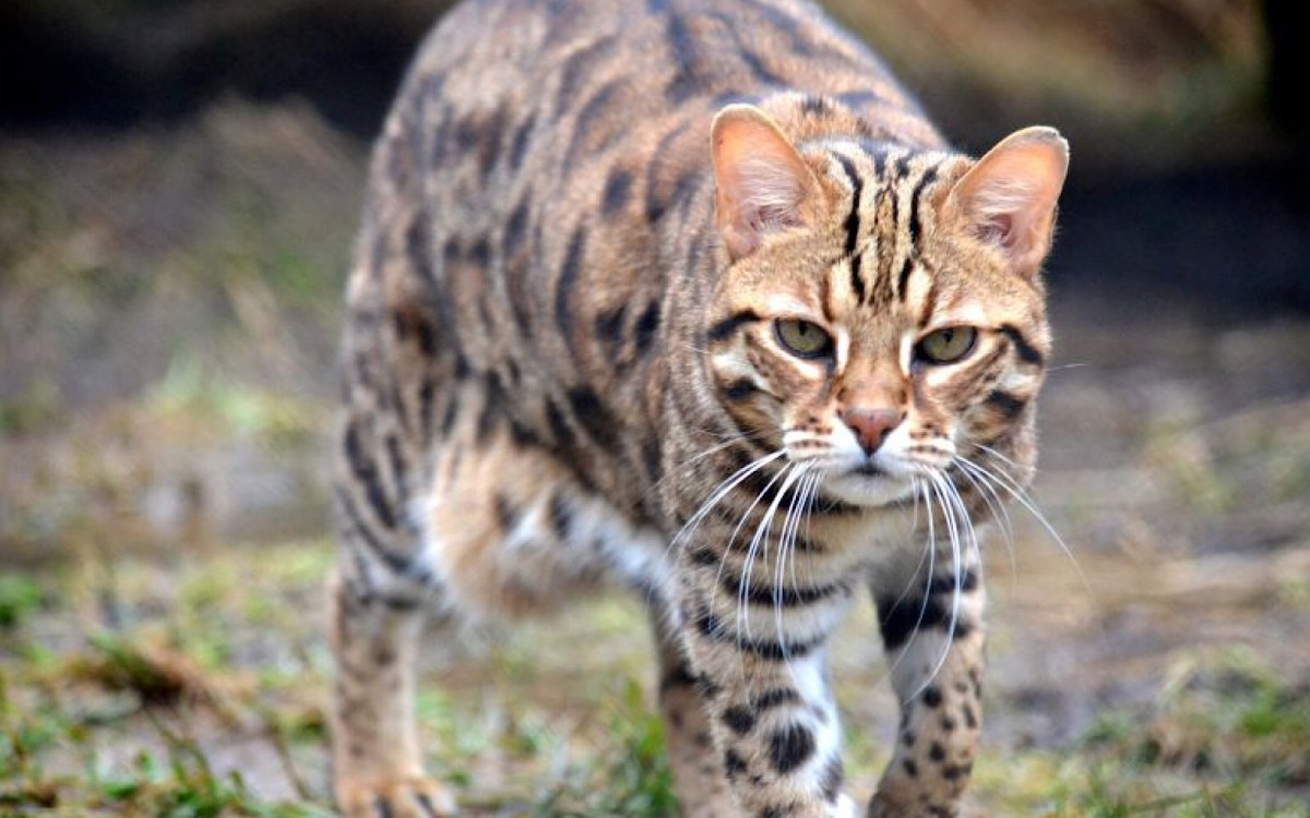 How Can You Tell If Your Cat Is A Tabby Or A Bengal One