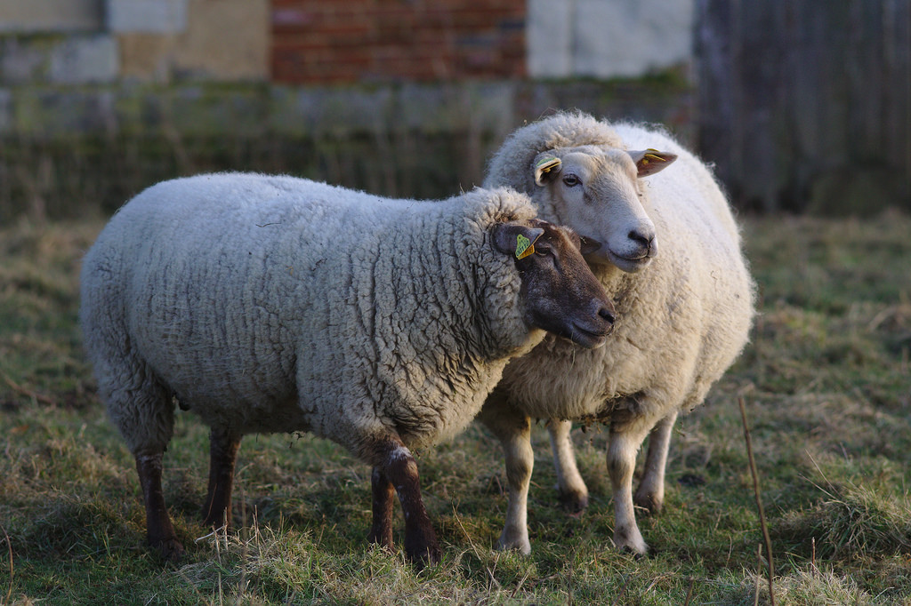 Things to Consider Before Adopting a Farm Animal
