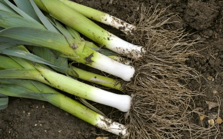 Leeks in ground fresh