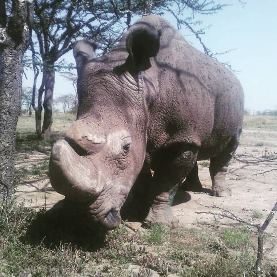 N White Rhino The Dire Fate of North...