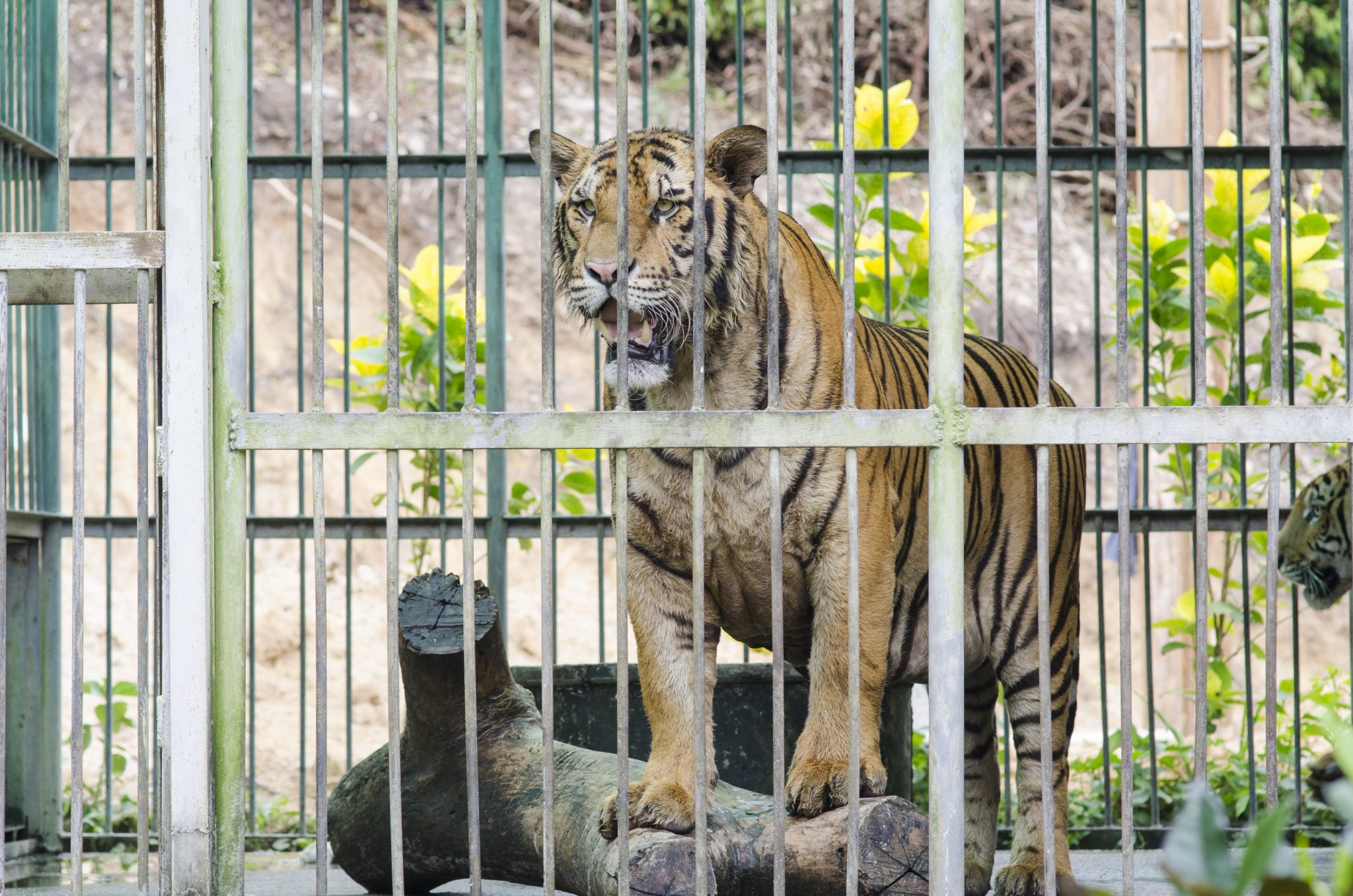 Petition: Captive Tigers at Risk for COVID-19
