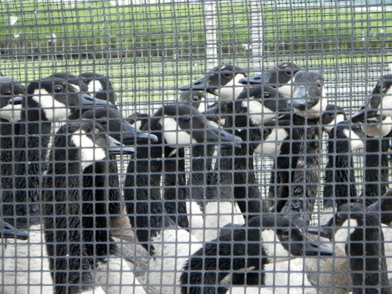 """Stop Canada Geese From Being Slaughtered at a """"Charity Harvest"""" in Illinois"""
