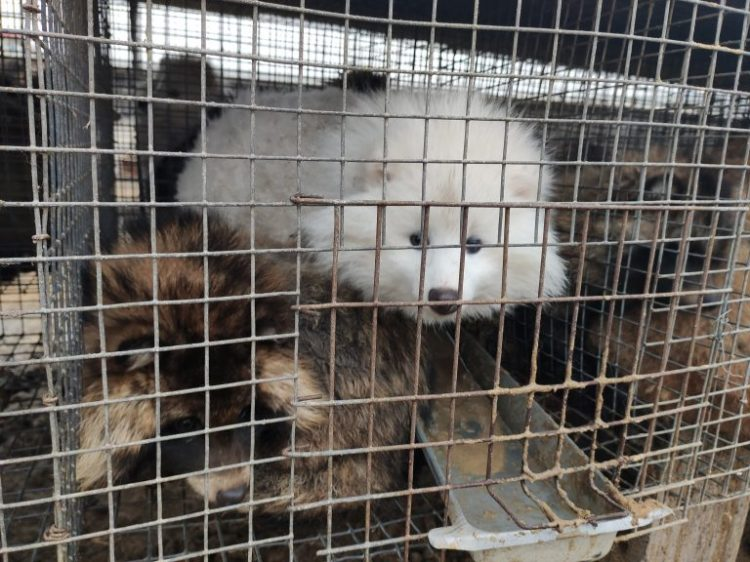 """Petition: Disturbing Footage Described as """"Scene From Hell"""" of Animals Suffering at a Fox Fur Farm"""