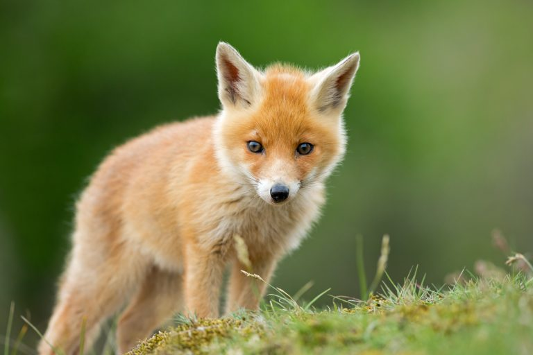 Petition: Ban Fox Hunting in Ireland