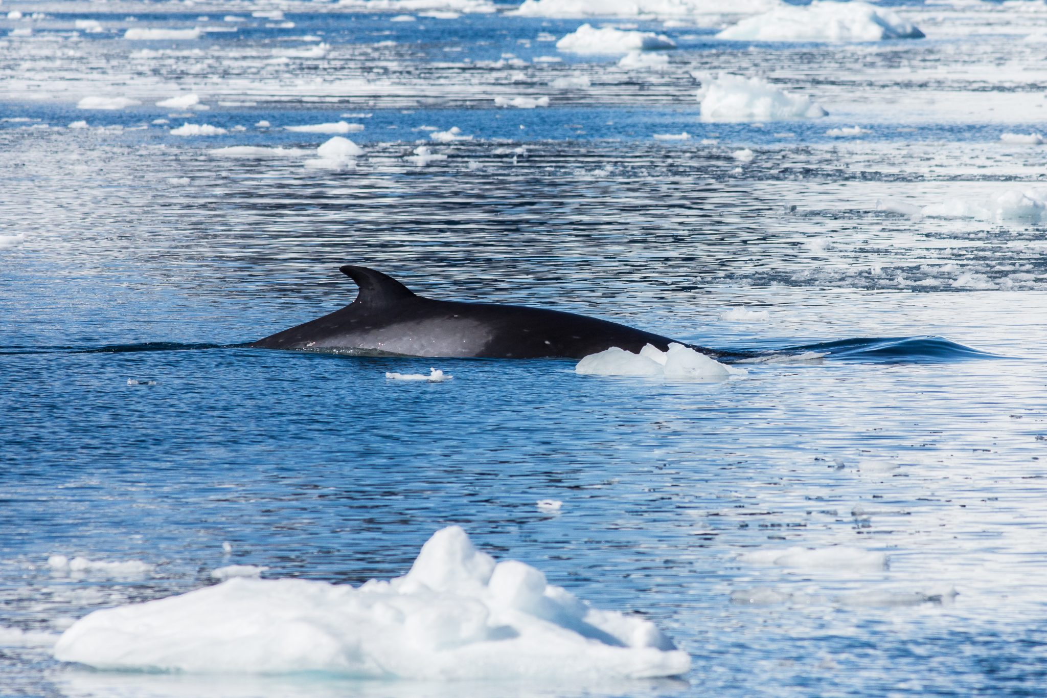 Petition: Whale Meat Demand in Norway is Rising