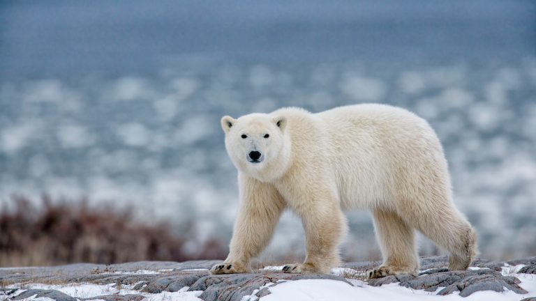 Petition: Urge Norway to Ban the Import of Polar Bear Skins