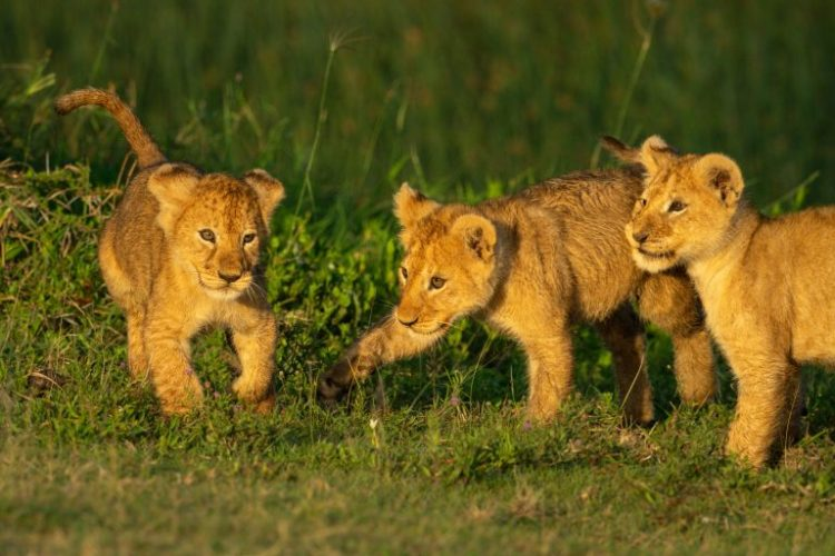 Petition: Baker Keeps Lion Cubs as Pets in Palestine