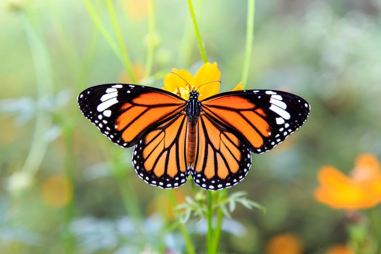 Petition: Western Monarch Butterflies Near Extinction With Less than 2000 Reported in this Year's Thanksgiving Count