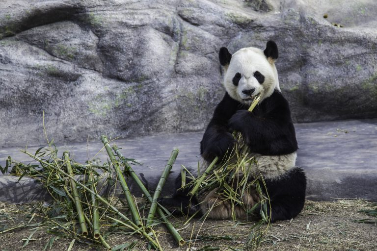 Petition: World's Oldest Panda Dies in Captivity