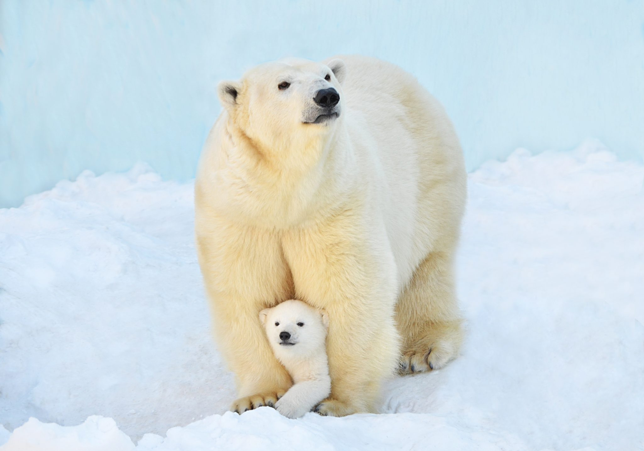 """""""Pizzly"""" Bears Found in Arctic"""