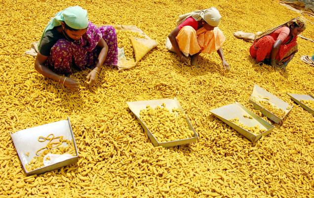 kurkuma oogst - OHIMP
